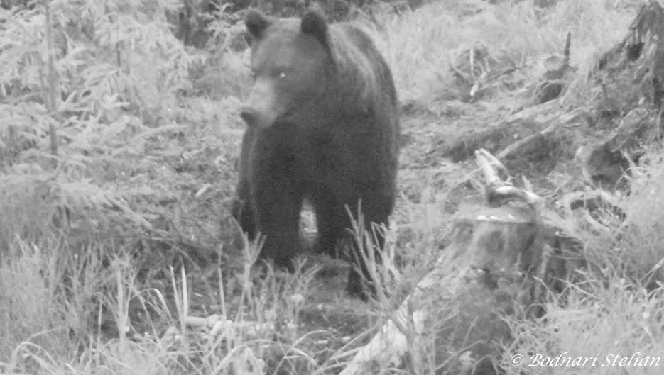 Ursul brun noaptea