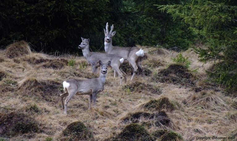 Familia Capriorului