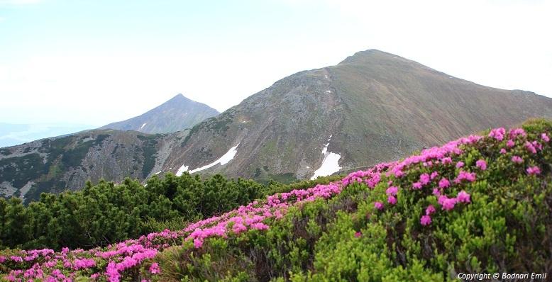 Bujorul de munte in masivul Ineu