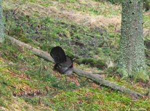 Împerecherea cocoşului de munte /foto: Stelian Bodnari /WILD BUCOVINA © 2016 / Toate Drepturile Rezervate