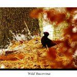 Ciocănitoarea neagră (Dryocopus martius)