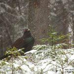 Cocoșul de munte pe ninsoare - Winter Capercaillie (Tetrao urogallus)