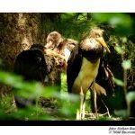 Cuibul de Barză neagră (Ciconia nigra) 2018