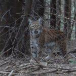 Femelă de Râs (Lynx lynx) - (Eurasian lynx)