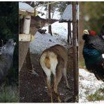 Bucovina Wildlife Livestreams Project - Stream LIVE la Boncanitul Cerbilor Carpatini / Rotitul Cocosilor de munte / Hranitoarea wildlife